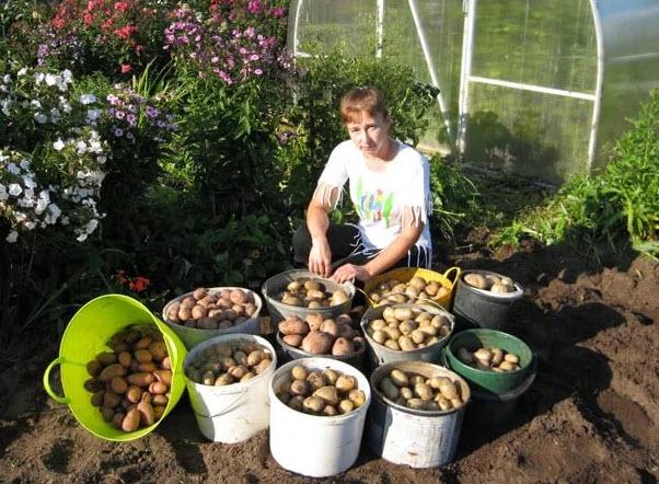 Как защитить урожай картофеля