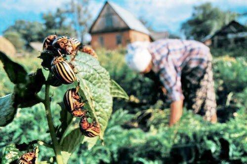 Как бороться с вредителями на картофеле