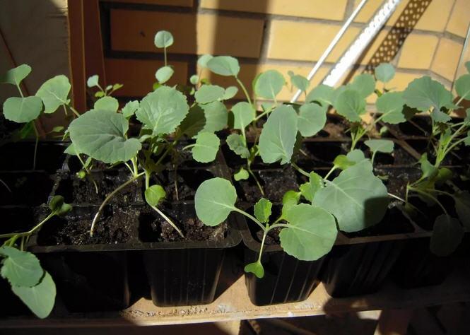 Выращивание рассады капусты брокколи