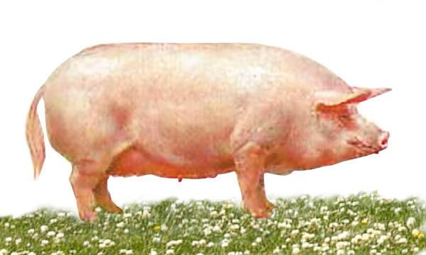 Украинская степная белая свинья