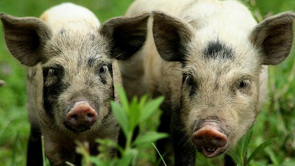 Крупные породы свиней, фотографии и подробное описание