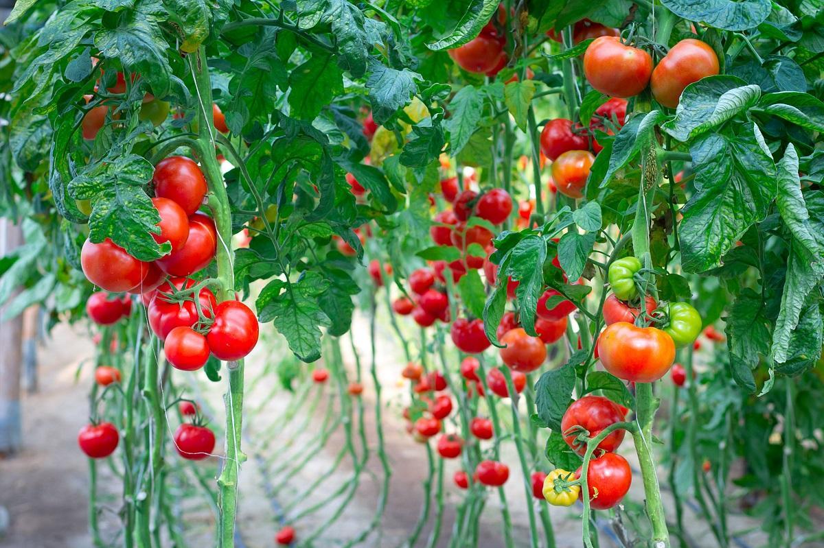 посев помидор в апреле