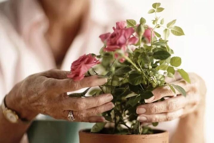 Как пересадить розу после покупки в магазине