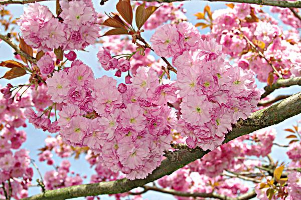 Цветущая виргинская черемуха