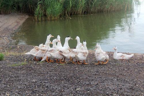Как разводить и содержать гусей