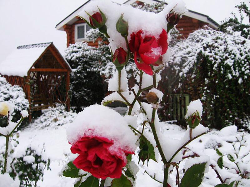 Подготовка садовых роз к зимнему периоду осенью