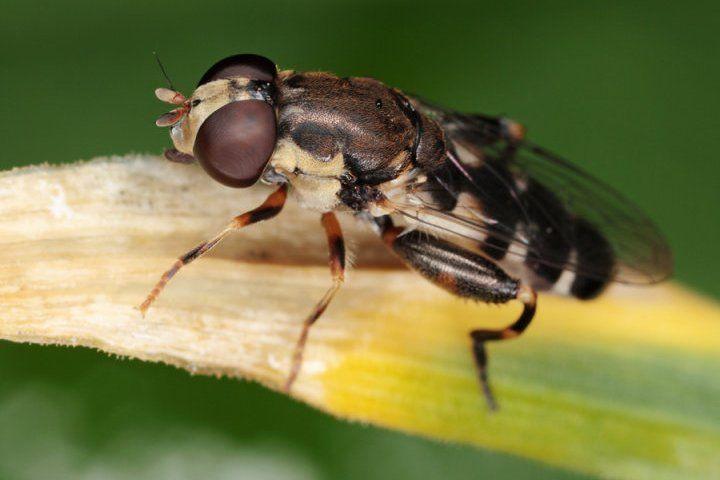 Как бороться с луковой мухой, эффективные методы