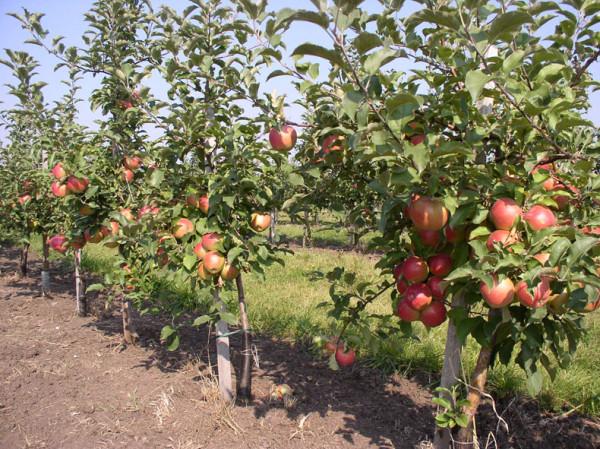 Как вырастить сортовую яблоню из дички