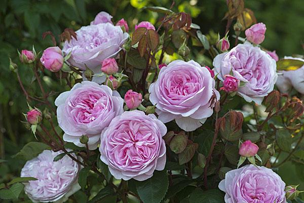 розы остина Olivia Rose Austin