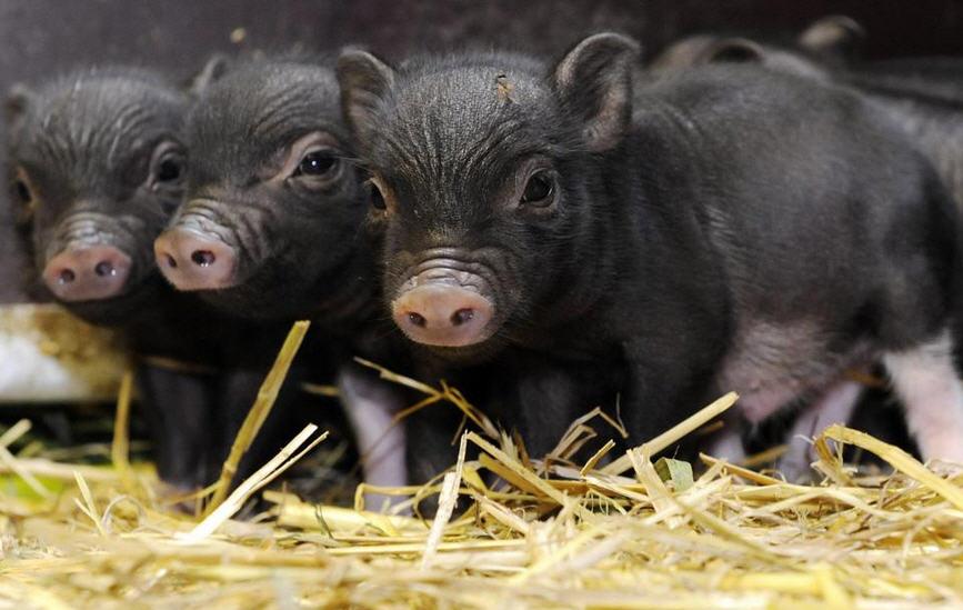 свиньи и поросята вислобрюхой породы
