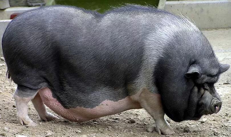 вислобрюхая свинья