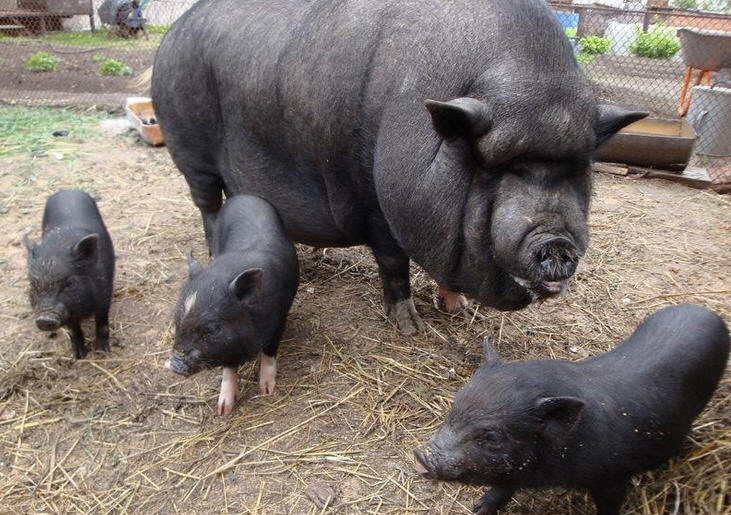 Вьетнамские вислобрюхие свиньи: кормление, содержание