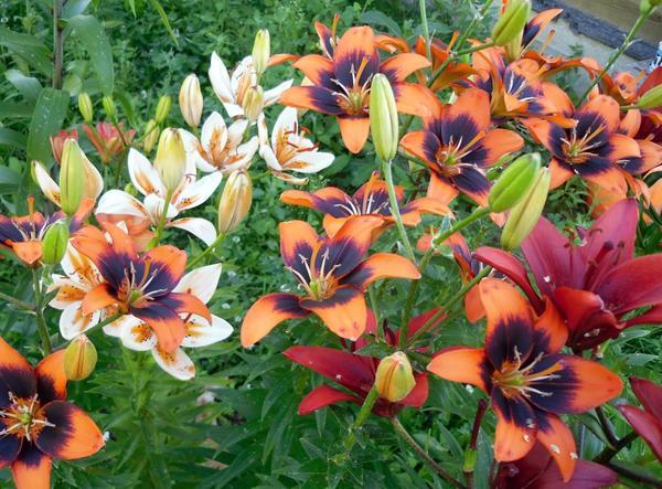 Способы размножения лилии