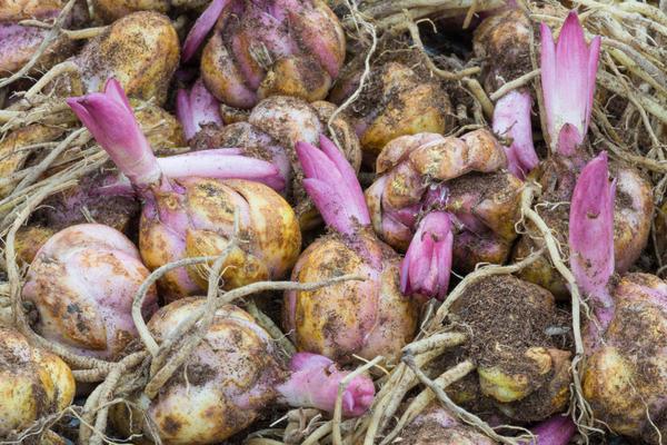 Нередко крупные луковицы лилий делятся, образуя 2-3 новых
