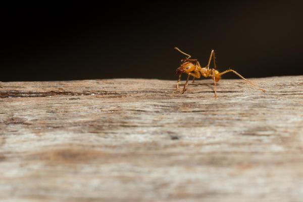 Почему в доме появились муравьи, как избавиться