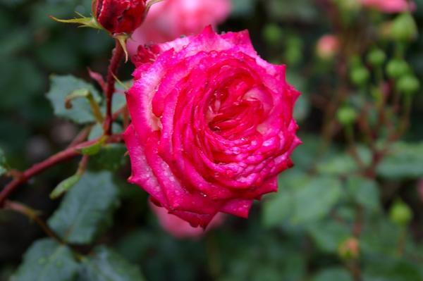 Роза садовая сорт Валентина Терешкова