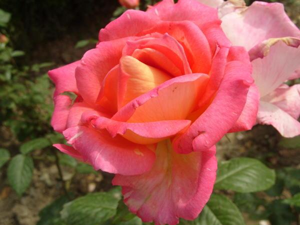 Роза садовая сорт Гурзуф