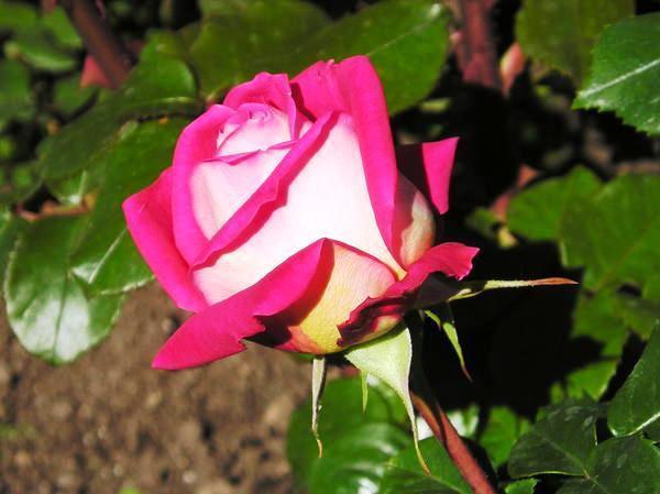 Роза садовая сорт Дина, фото З.К. Клименко
