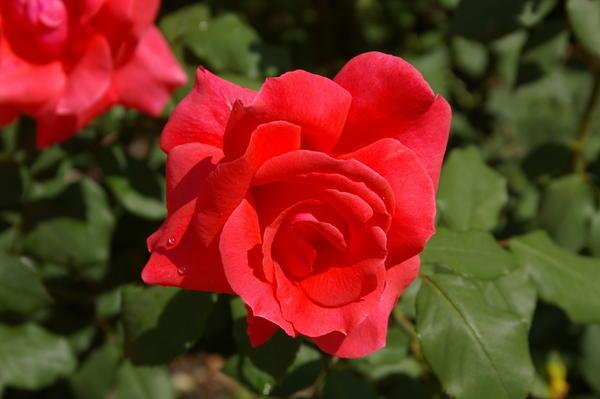 Роза садовая сорт Коралловый Сюрприз