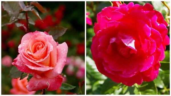 Роза садовая сорт Лезгинка в полуроспуске и полностью распустившийся цветок