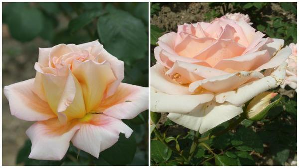 Роза садовая сорт Марина Стевен
