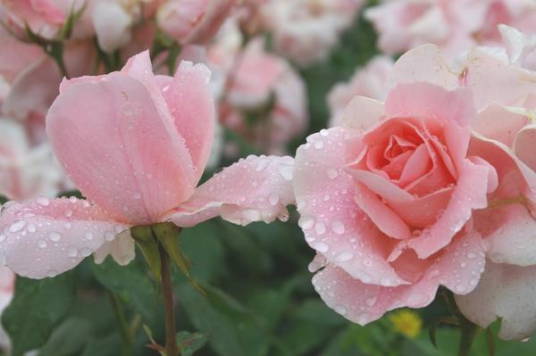 Роза садовая сорт Профессор Виктор Иванов