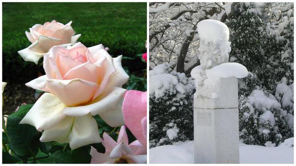Роза садовая сорт Марина Стевен и памятник Х.Х. Стевену в Никитском ботаническом саду зимой
