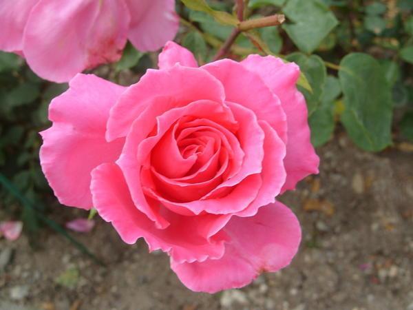Роза садовая сорт Феодосийская Красавица