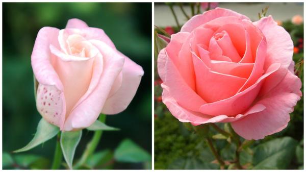 Роза садовая сорт Queen Elizabeth