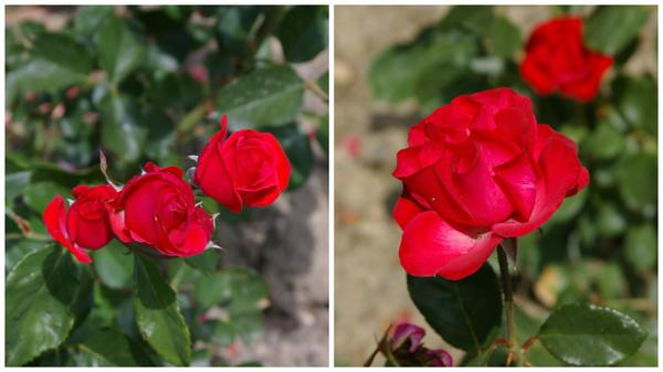Роза садовая сорт Prominent