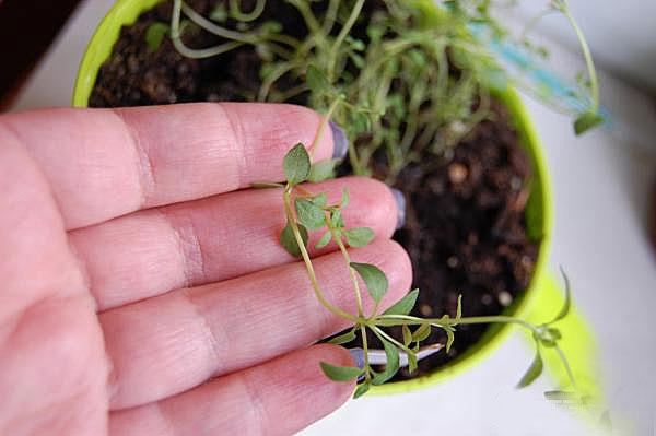 Как вырастить тимьян из семян в домашних условиях