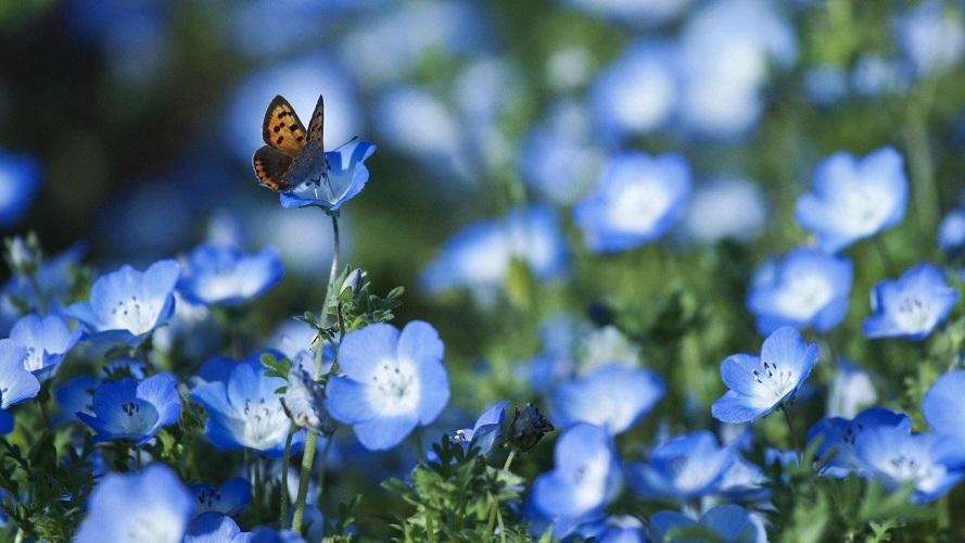 Как вырастить незабудку садовую из семян