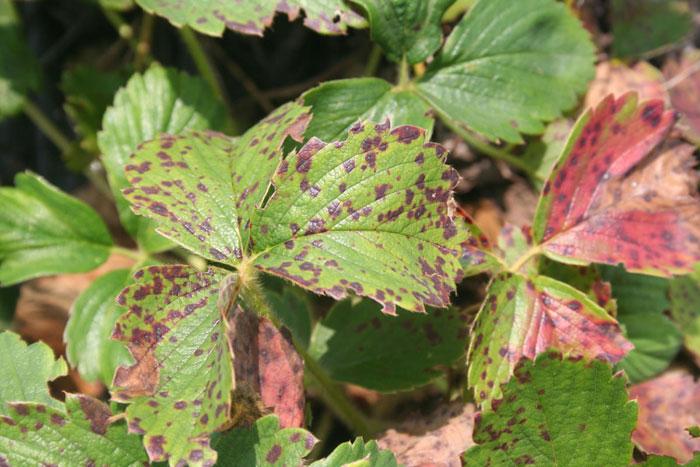 Обработку от болезней можно провести осенью
