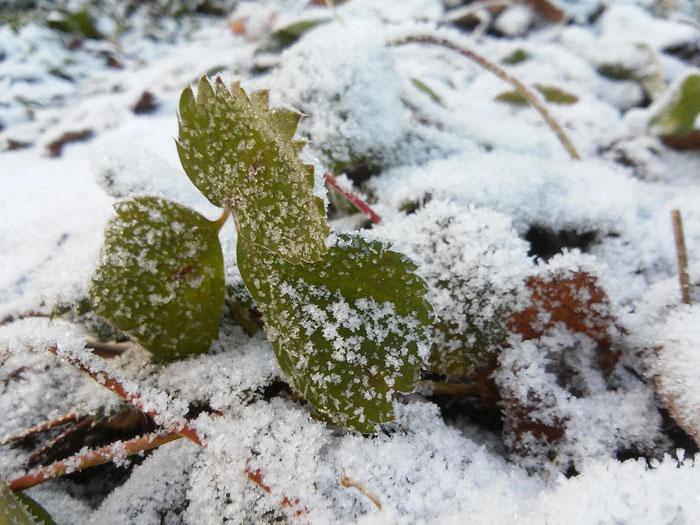 Укрывать землянику нужно до выпадения снега