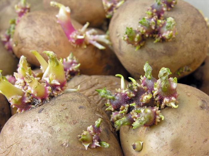 Картофельные глазки — на самом деле узлы стебля, из которых прорастают новые побеги