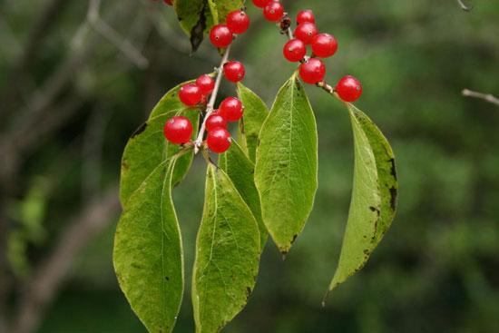Созрели ягоды жимолости татарской