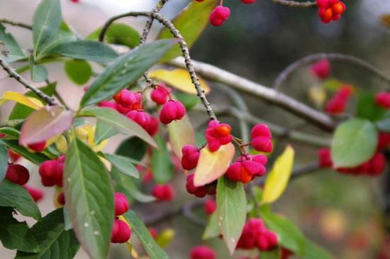 Созрели плоды одного из бересклетов в Саду
