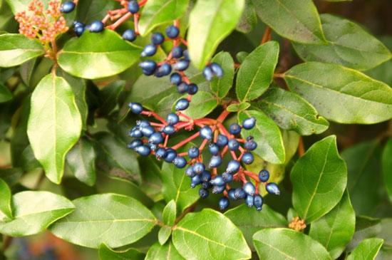 Перламутровые костянки калины вечнозеленой — словно драгоценное украшение кустарника
