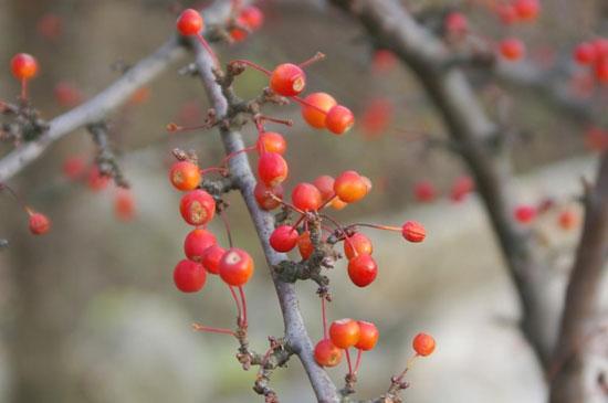 Созрели плоды декоративной яблоньки
