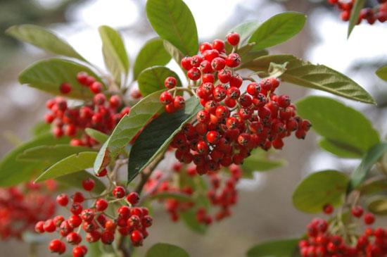 Плоды кизильников — корм для птиц в зимнее время