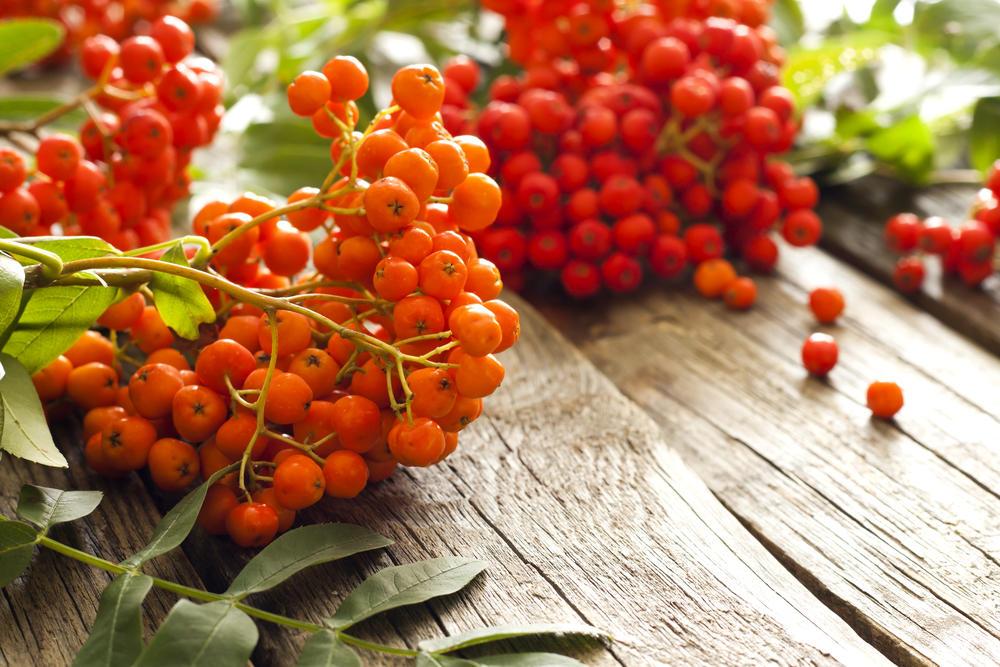 Рябина — очень полезная ягода