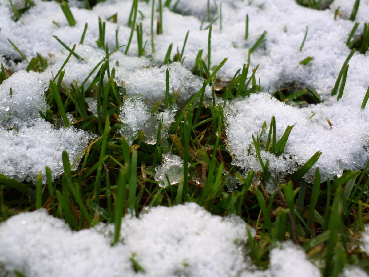 Снег еще тает, а трава уже растет