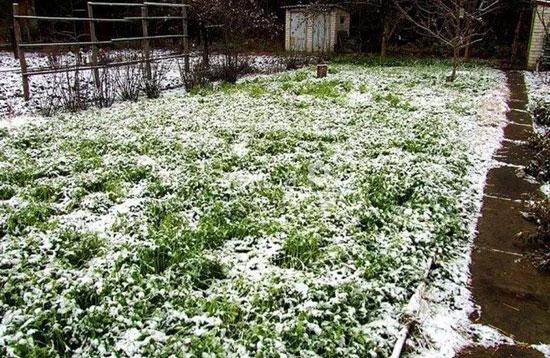 Сидераты осеннего посева можно даже не заделывать в почву