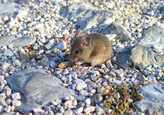 Защищайте растения от мышей медным купоросом