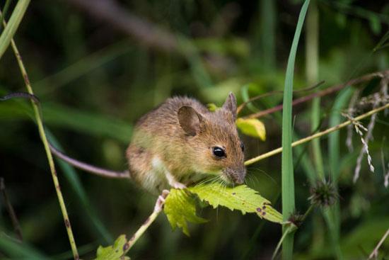 Мышь не тронет растения, если они обработаны медным купоросом