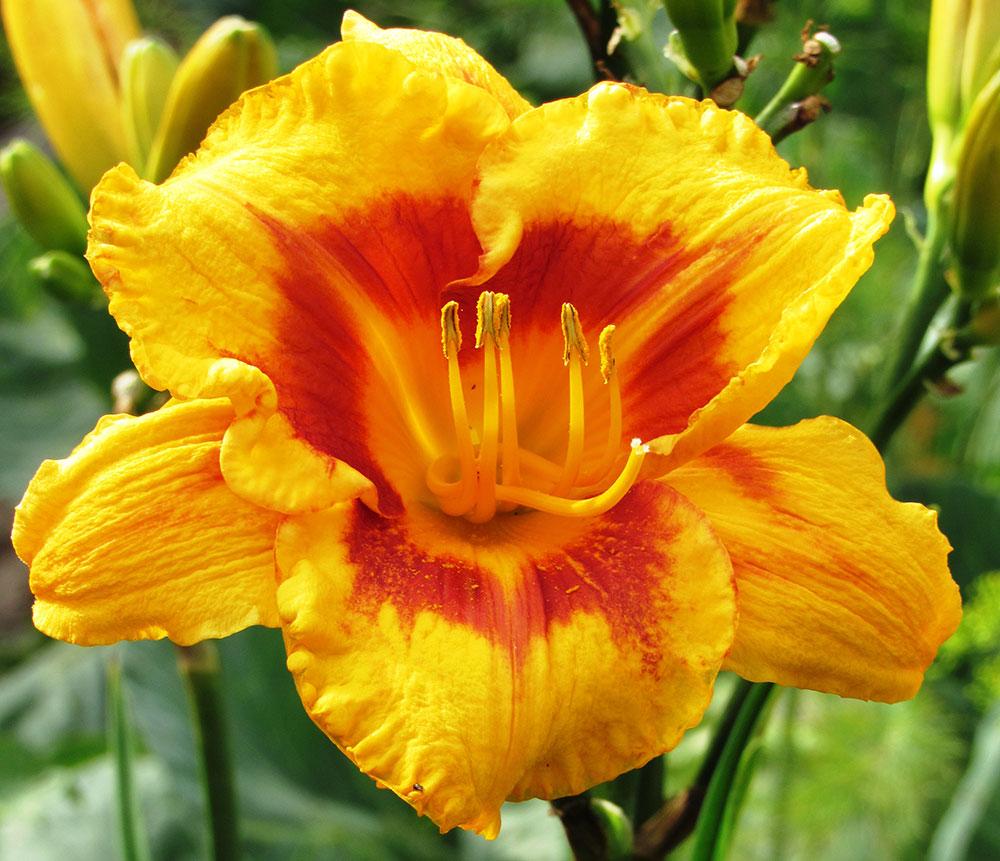 Выращивание лилейников и сочетании их с другими цветами на клумбах