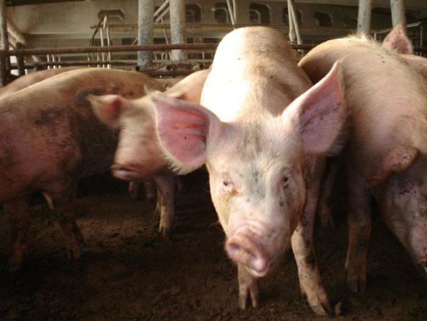 Рожистое заболевание у свиньи