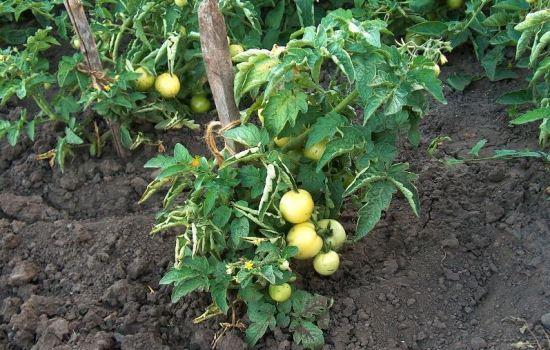 Лучший сорт помидоров в открытый грунт