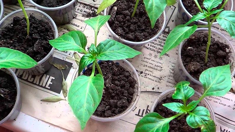 Как вырастить рассаду перца дома на подоконнике