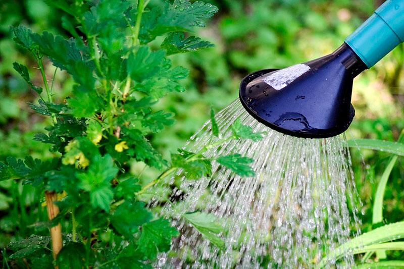 Как поливать смородину кипятком